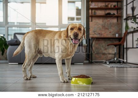 Full length portrait of outgoing dog tasting delicious meal while standing in wide apartment