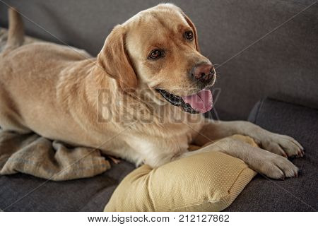 Top view of cheerful dog relaxing on cozy sofa. Leisure concept