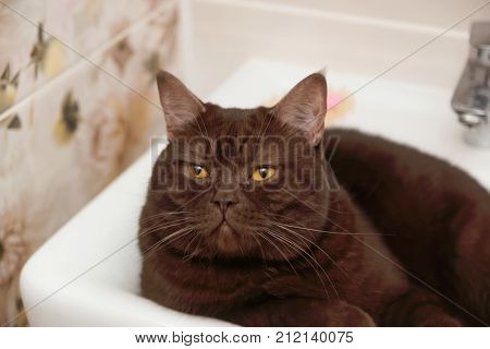 Scottish-straight Brown Chocolate Cat Lies In The Bowl Of The Washbasin.