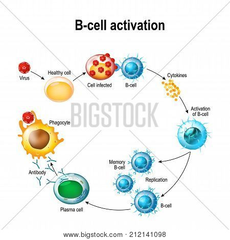 Activation of B-cell leukocytes: lymphoblast activation memory B-leukocyte virus plasma cell antibody antigen and naive lymphocyte