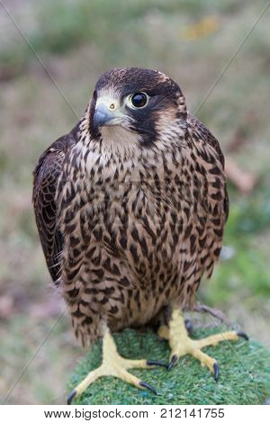The peregrine falcon . Falco peregrinus also known as the peregrine and historically as the duck hawk in North America is a widespread bird of prey in the family Falconidae.Selective focus