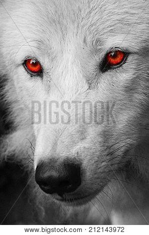 Evil Wolf Face Evil Wolf Images, Illu...