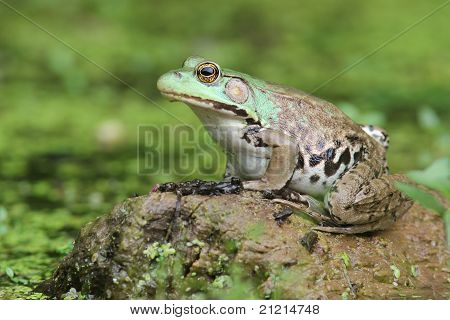 Green Frog and Baby Frogs