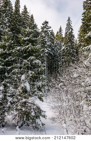 Snowy Spruce Trees In Forest