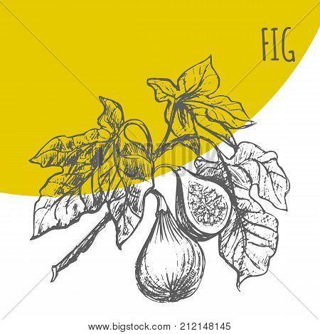 Fig Fruit Vector Botanical Illustration Sketch Plant
