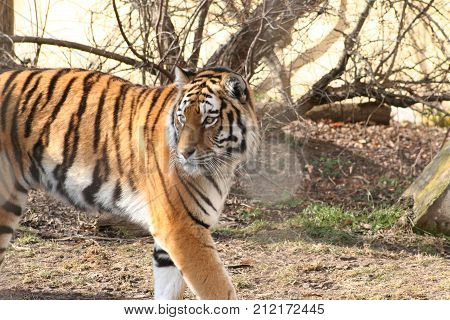 a strong tiger with beautiful fur and distinctive eyes on the walk