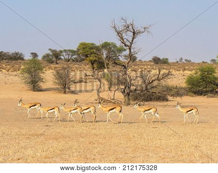 A herd of springbok and a dying camelthorn tree in the Auob River valley in the Kgalagadi Transfrontier Park straddling South Africa and Botswana.