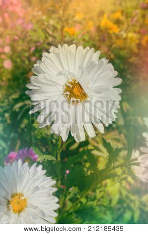 White Aster Flower. Blooming White Asters At Golden Autumn Background