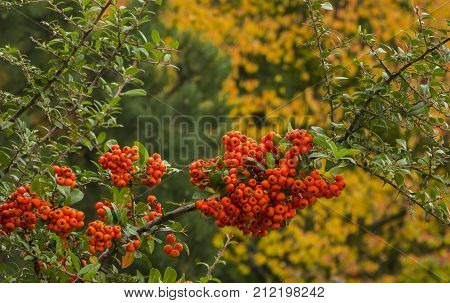 Ashberry in autumn Colors of autumn background