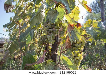 Branches of wine grapes growing in Georgian fields. Close up view of fresh wine grape in Georgia. Vineyard view with big grape growing. Ripe grape growing at wine fields. Wine concept