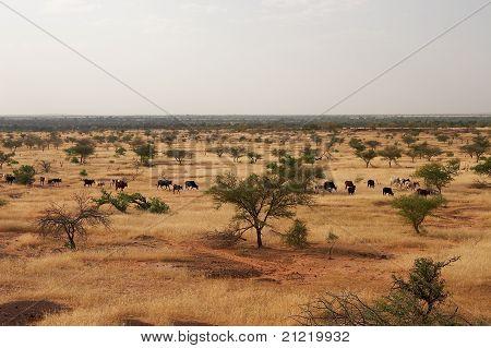 Cows in African savanna