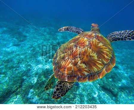 Green sea turtle in clear sea water. Tropical nature of exotic island. Olive ridley turtle in blue sea water. Sea tortoise swims underwater. Undersea photo. Protected marine animal in wild nature