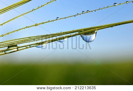 Dew drops on barley ear close up. Nature background.