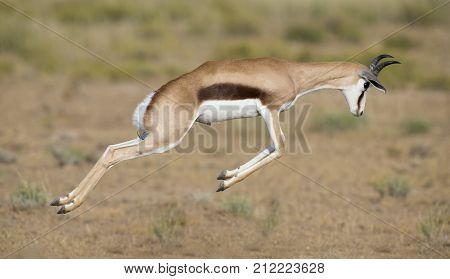 Young springbok male prancing happy on a plain in the Kgalagadi