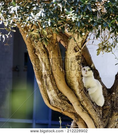 White cat with black ears sitting in the afternoon on an olive tree