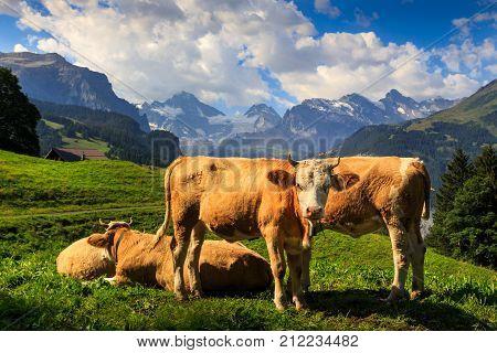 Brown cows in Bernese Alps in summer. Wengen Bernese Oberland Switzerland
