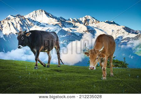 Cows walking on alpine meadow. Idyllic summer landscape in the Alps with cows grazing on fresh green mountain pastures and snow capped cloudy mountain tops in the background. Nature travel background
