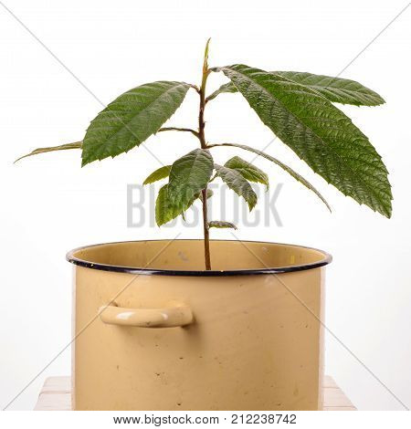 Young Loquat Tree Planted In A Saucepan On A White Background