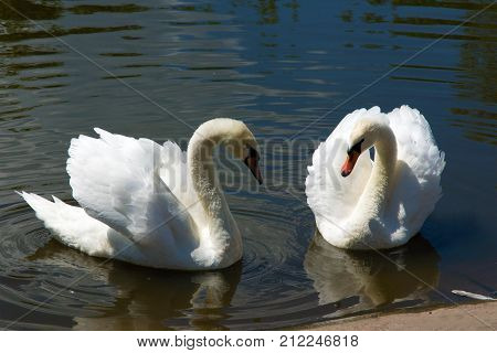 Two adult Mute Swans (Cygnus olor) swim in an artificial pond