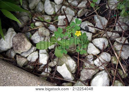 Common yellow woodsorrel (Oxalis stricta), also called  yellow, oxalis, upright yellow-sorrel, lemon clover, sourgrass, and pickle plant, blooms in a garden in Joliet, Illinois during June.