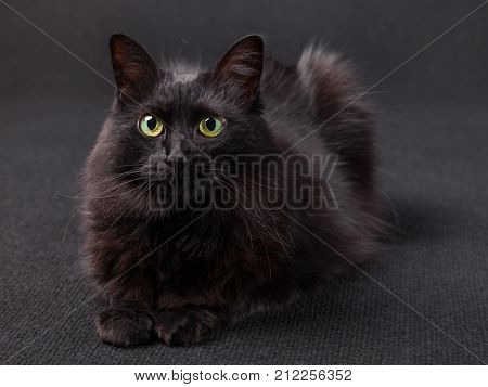 Black cat lying down facing the camera on a dark background. Long hair Turkish Angora breed. Adult female.