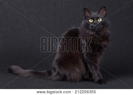 Portrait of a cute black cat sitting sideways and looking at the camera on a dark background. Long hair Turkish Angora breed. Adult female.