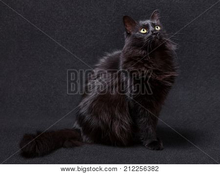 Black cat sitting and looking up on a dark background, acting curious and focused. Long hair Turkish Angora breed. Adult female.