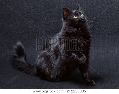 Playful and curious black cat on a dark background. Sitting and looking up with a raised paw about to swipe, slap or strike. Long hair Turkish Angora breed. Adult female.