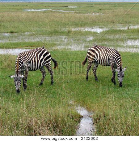 Zebra Symmetry