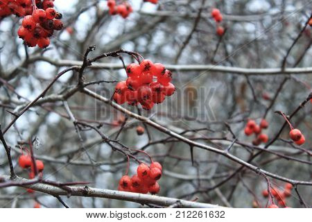 Hawthorn berries in winter. Red berries in the cold. Clusters of hawthorn on the wind. Hawthorn berries on the sky. The Bush of Hawthorn in autumn. Frozen berries