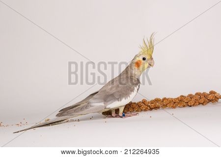 Cute Young Cockatiel with Favorite Seed isolated on white background