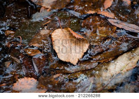 A leaf of a brown shade fallen from a tree lies in water, which, under the influence of frost, began to freeze and only a small part of the water around the leaf did not have time to freeze. Autumn foliage adorns the countryside very beautifully in the au