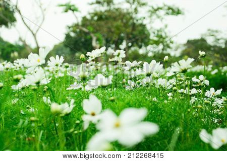 White cosmos or Sonata white or cosmos bipinnatus in the park among a beautiful day in blur background