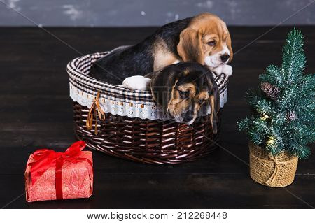 Two beagle puppies in the basket. Young beagle puppy sniffing gift box with red bow. Christmas tree next to a dog