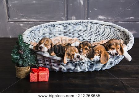 Six beagle puppies sleeping in basket. Young beagle puppy. Gift box with red bow and Christmas tree next to a basket.