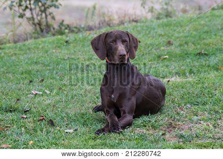 German Shorthaired Pointer (Kurzhaar) dog on green grass horizontal outdoors