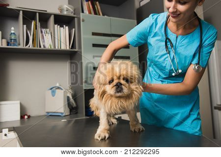 Vet examining the dog in a clinic. Happy veterinarian or doctor with dog at vet clinic.