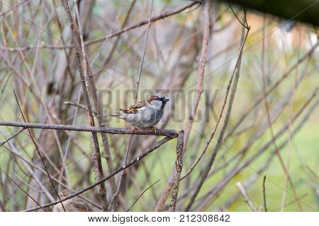 Sparrow known also like True sparrow or Old World sparrows.