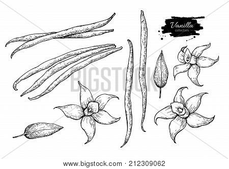 Vanilla flower and bean stick vector drawing set. Hand drawn sketch food illustration isolated on white. Engraved style spice and flavor object. Cooking and aromaterapy ingredient.