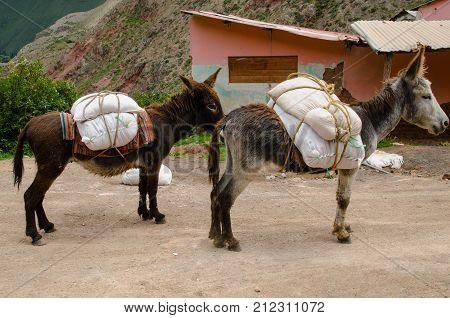 Donkeys packed with salt at the Maras Salt Mines Peru