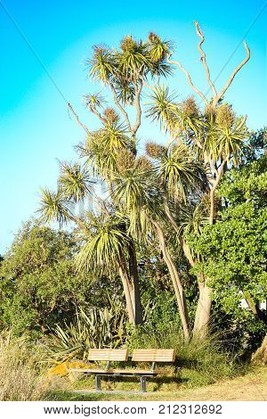 A park bench for public use below a tall native New Zealand cabbage tree (Cordyline australis)