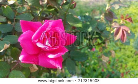 Bright pink knock out rose blossom with green bush foliage