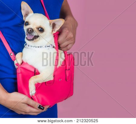 Chihuahua dog smiling in pink bag. Puppy face with happy smile on violet background. Pet companion friend friendship. Protection alertness bravery. Devotion and constancy concept.