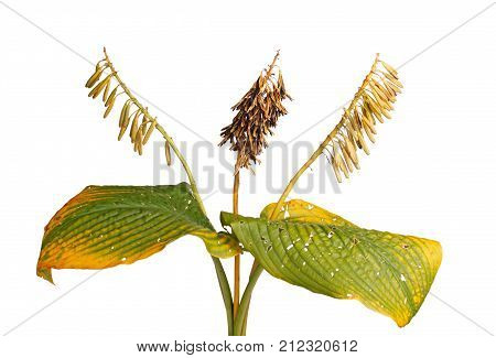 Yellow and green fall leaves and brown dried seed pods of a cultivated hosta plant isolated against a white background