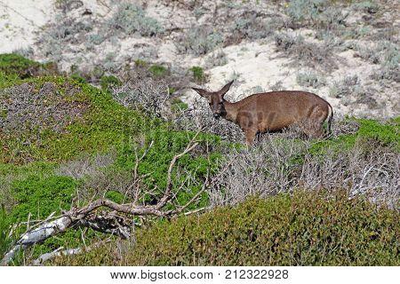 California mule deer (Odocoileus hemionus californicus) in spring on sand dunes in the natural preserve of Asilomar State Beach in Pacific Grove near Monterey
