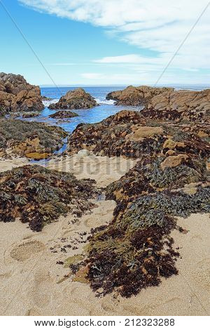 Low tide reveals algae and tide pools at Asilomar State Beach in Pacific Grove on the Monterey Peninsula of California vertical