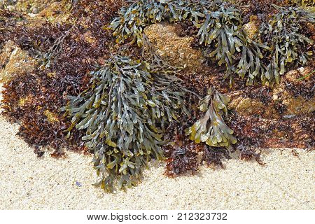 Olive rockweed (Hesperophycus californicus center upper right) the related brown alga Fucus distichus (right of center) and other algae (probably sand-scoured false kelp Phaeostrophion irregulare)
