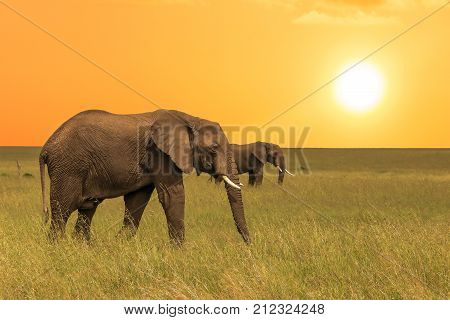 African elefants walking in savanah at sunset.