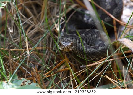 Snake at dry clay close up photo. Vipera renardi, steppe species in grass