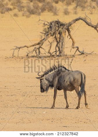 A lone Common or Blue Wildebeest in the arid Kgalagadi Transfrontier Park straddling South Africa and Botswana. poster